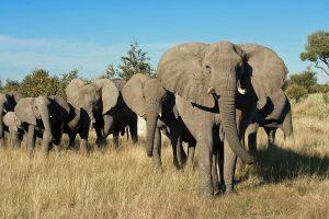 Avvistamento elefanti durante safari in Africa
