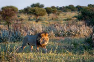 Avvistamento leone durante un safari in Africa