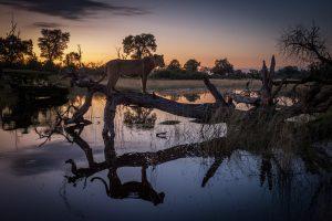 Avvistamento di un leone al tramonto in Africa