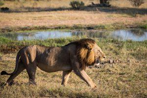 Leone in Africa