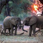 Elefanti che si abbraccino